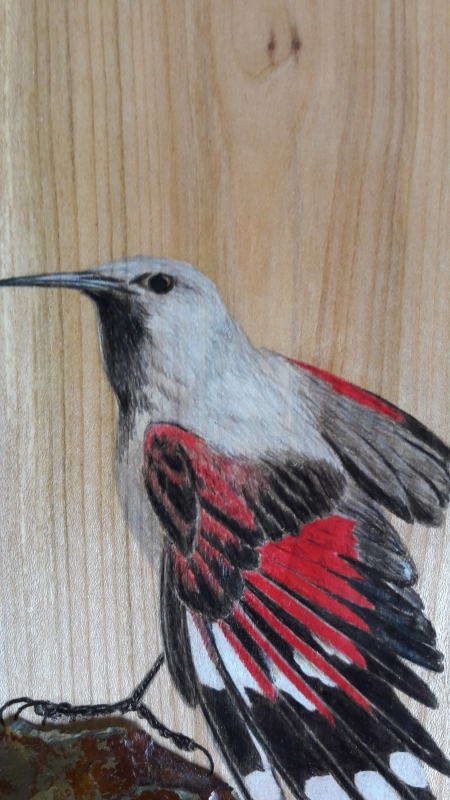 Wallcreeper on Ash / Treparriscos sobre Fresno