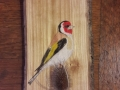 European goldfinch on Ash / Jilguero sobre Fresno
