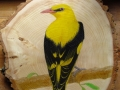 Golden oriole on Ash / Oropéndola europea sobre Fresno