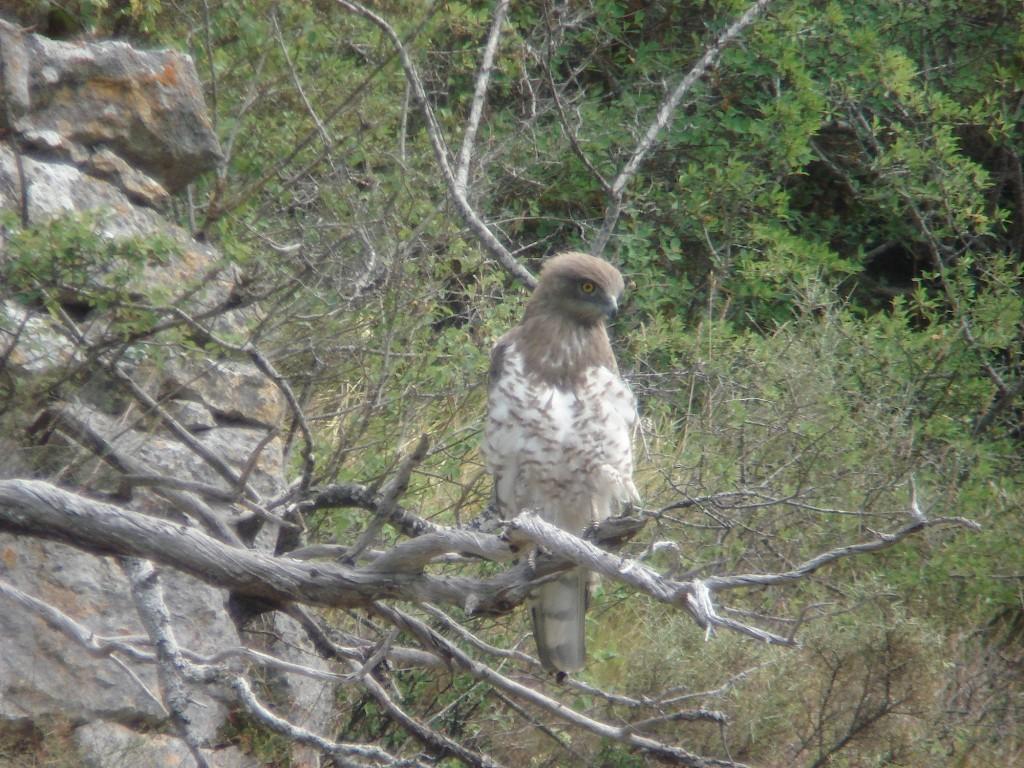 Aguila Culebrera 7