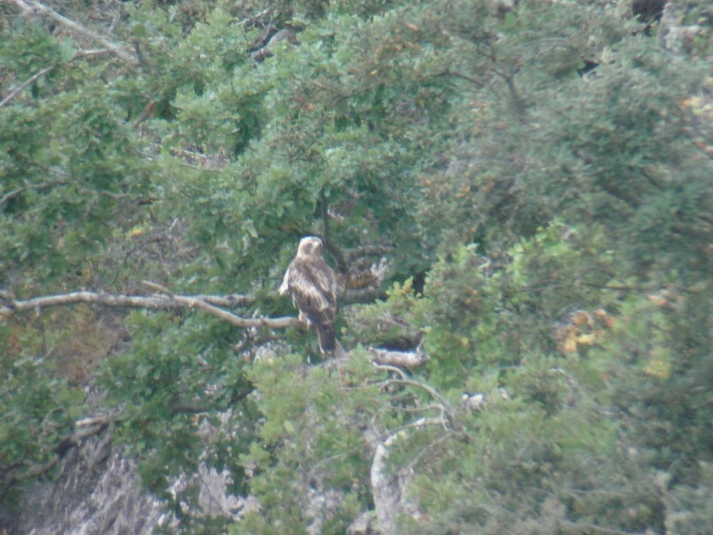Aguila Calzada 004
