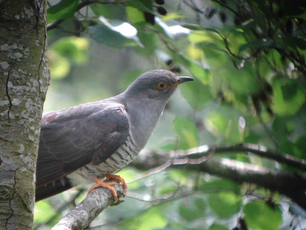 Going after the Cuckoo